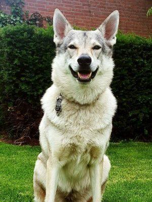 Met haar 7 jaar is Styx de oudste van de roedel. Deze wolfshond is de alpha van de groep.